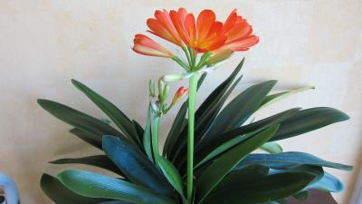 Amaryllis d finition et recettes de amaryllis for Les amaryllis fleurs