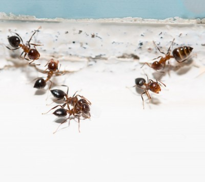 astuce comment loigner mites et fourmis trucs et. Black Bedroom Furniture Sets. Home Design Ideas