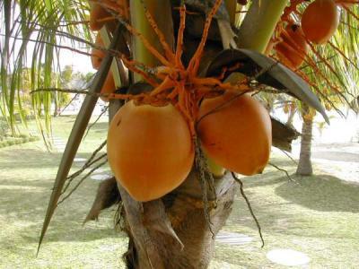 Noix de coco fiche noix de coco et recettes de noix de coco sur supertoinette - Arbre noix de coco ...