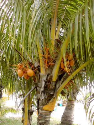 Palmier fiche palmier et recettes de palmier sur - Palmier cocotier ...