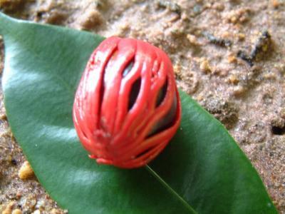 La Noix de Muscade (Nutmeg) dans Ma Corbeille d'épices - Zépis 67939
