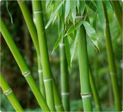 Pousse de bambou fiche pousse de bambou et recettes de - Tuteur bambou gros diametre ...