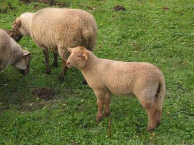 mouton d finition et recettes de mouton supertoinette. Black Bedroom Furniture Sets. Home Design Ideas